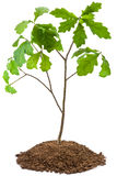 Eight-year oak tree Royalty Free Stock Photo