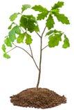 Eight-year oak tree. Isolated on white Royalty Free Stock Photo