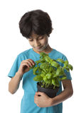 Eight year old boy picking basil leaves Royalty Free Stock Image