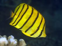 Eightband butterflyfish Stock Images