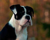Eighteen weeks old female puppy Old English Bulldog. Eighteen weeks old tricolor female puppy Old English Bulldog Royalty Free Stock Image