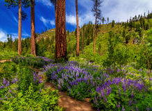Eightmile Trail, Washington State. Purple Lupine flowers line the trail that takes you to Eightmile Lake in Washington State Stock Photo