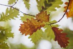 Eik broun en groene bladeren op de takken in het de herfstbos royalty-vrije stock fotografie
