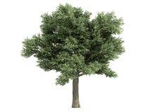 Eik (Quercus petraea) Stock Foto's