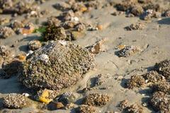 Eikeleendenmosselen op een grote steen van het sluiten royalty-vrije stock fotografie