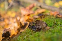 Eikeleik door eekhoorn op groen mos van een oude gevallen boom in het bos wordt gebeten dat stock fotografie