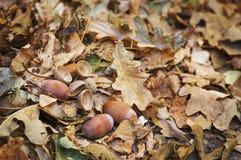 Eikels met bladeren die op de grond liggen Royalty-vrije Stock Foto