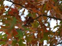 Eikels op een eiken boom Royalty-vrije Stock Foto's
