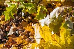 Eikelsclose-up De herfsteikel en gevallen bladeren van esdoorn en eik eikels De achtergrond van de herfst Rode en oranje het blad royalty-vrije stock foto's