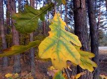 Eiken blad in de herfst Schoonheid in aard stock fotografie