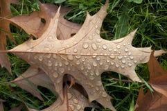 Eiken blad en regendruppels Royalty-vrije Stock Foto's