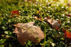 Eiken blad op een weide met waterdalingen van dauw in backlight Stock Afbeeldingen