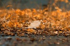 Eiken blad van de herfstbos in September stock afbeeldingen