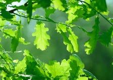 Eiken bladeren Royalty-vrije Stock Afbeeldingen