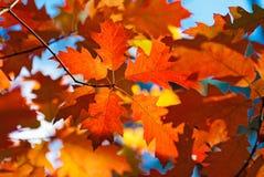 Eiken bladeren stock foto