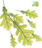 Eiken bladeren. Stock Foto's