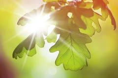 Eiken bladeren Royalty-vrije Stock Afbeelding