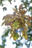 Eiken bladeren Stock Afbeeldingen