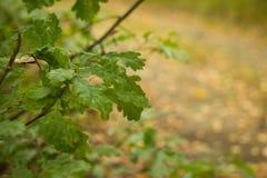 Eiken bladeren Stock Afbeelding
