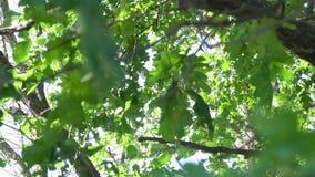 Eiken bladeren in de boomkroon stock videobeelden
