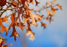 Eiken Bladeren in de Herfst royalty-vrije stock afbeelding