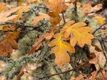 Eiken bladeren in de herfst Royalty-vrije Stock Afbeeldingen