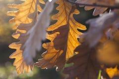 Eiken bladeren, de herfst Stock Fotografie