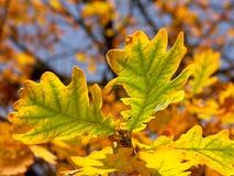 Eiken bladeren in de herfstkleuren stock foto