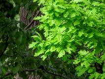 eiken bladeren in de lente Royalty-vrije Stock Afbeeldingen