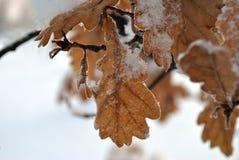 Eiken Bladeren in de Winter Stock Fotografie
