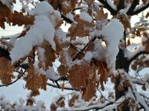 Eiken Bladeren in de Winter Stock Foto's