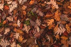 Eiken bladeren gevallen aan de grond in de herfst stock afbeelding