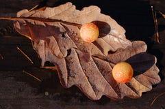 Eiken bladeren met schaafwonden Stock Afbeelding