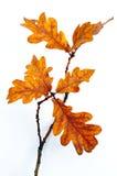 Eiken bladeren op een takje Royalty-vrije Stock Afbeeldingen