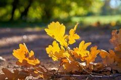 Eiken bladeren op een voetpad in de herfst royalty-vrije stock fotografie