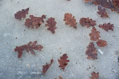 Eiken bladeren op ijs Royalty-vrije Stock Afbeeldingen