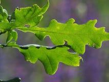 Eiken bladeren op purpere groene heldere achtergrond Stock Foto