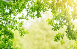 Eiken bladerenachtergrond in de zomer met mooi zonlicht stock afbeelding