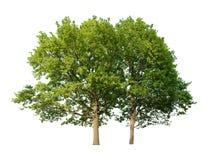 Eiken bomen Royalty-vrije Stock Afbeelding