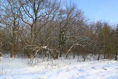 Eiken bomen in bos royalty-vrije stock foto