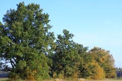 Eiken bomen in de herfst stock afbeeldingen