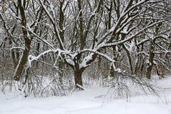 Eiken bomen in de winterbos royalty-vrije stock foto
