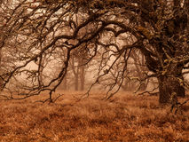 Eiken bomen in de wintermist Stock Foto's
