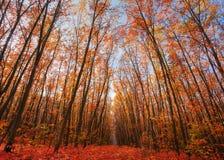 Eiken bomen met laatste gele bladeren Stock Afbeeldingen
