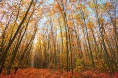 Eiken bomen met laatste gele bladeren Royalty-vrije Stock Foto