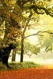 Eiken bomen in mooie mist stock foto's