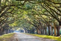 Eiken Bomen in Savanne Stock Afbeelding