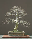Eiken bonsai in de winter royalty-vrije stock foto
