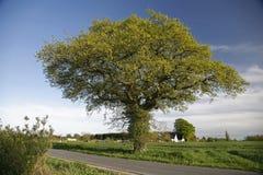 Eiken boom bij de lente. Royalty-vrije Stock Afbeelding