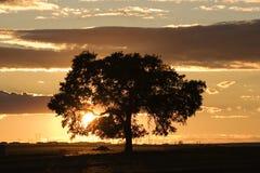 Eiken boom bij zonsondergang Stock Afbeelding